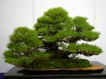 黒松盆栽-japanese-black-pine-bonsai-tree-014.JPG