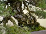 黒松盆栽-japanese-black-pine-bonsai-tree-005.JPG