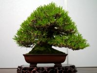 黒松盆栽-japanese-black-pine-bonsai-tree-009.JPG