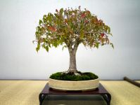 欅盆栽-japanese-zelkova-bonsai-tree-002.JPG