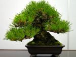 黒松盆栽-japanese-black-pine-bonsai-tree-007.JPG