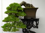 黒松盆栽-japanese-black-pine-bonsai-tree-011.JPG