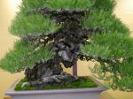 黒松盆栽-japanese-black-pine-bonsai-tree-004.JPG